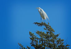 Evergreen Heron Stock Images