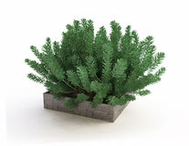 Evergreen House Plant in Stone Pot Stock Images