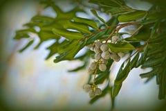 Evergreen Huckleberry tree Royalty Free Stock Photo