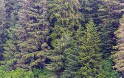 Evergreen i alaskabo vildmark arkivbilder