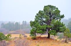 Evergreen i utlöparen royaltyfria bilder