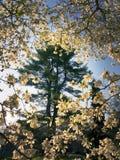 Evergreen incorniciato dai fiori fotografia stock