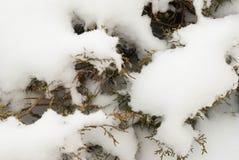Evergreen innevato fotografia stock libera da diritti