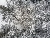 Evergreen in inverno fotografie stock