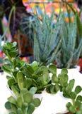 Evergreen jade plants Royalty Free Stock Photo