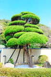Evergreen Japanese tree Stock Photo