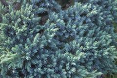Evergreen juniper background Stock Images