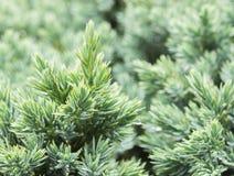 Evergreen juniper background. Photo of bush with green needles. Ornamental thorns of Juniperus communis, green treetop edges stock photography