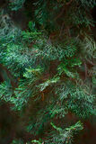 Evergreen juniper background. Photo of bush with green needles. Ornamental thorns of Juniperus communis, treetop edges, branches. Royalty Free Stock Photography