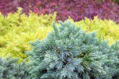 Evergreen juniper background. Photo of bush with green needles. Ornamental thorns of Juniperus communis, treetop edges. royalty free stock photography