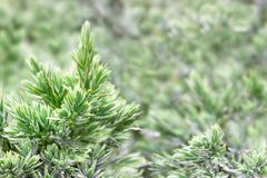 Evergreen juniper background. Photo of bush with green needles. Ornamental thorns of Juniperus communis, treetop edges. Green youn Royalty Free Stock Photo