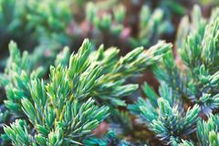 Evergreen juniper background. A photo of the bush with green needles. Ornamental thorns of Juniperus communis, treetop edges. stock images