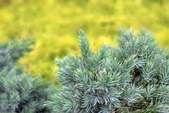 Evergreen juniper background. Photo of bush with green needles. Ornamental thorns of Juniperus communis, treetop edges. Selective royalty free stock image