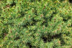 Evergreen juniper branches Stock Photo