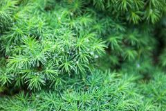 Evergreen juniper branches Stock Photography