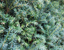 Evergreen juniper branches Royalty Free Stock Images