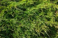 Evergreen juniper branches Stock Photo