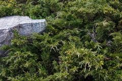 Evergreen juniper branches near the gray stone Royalty Free Stock Photos