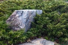 Evergreen juniper branches near the gray stones Stock Image
