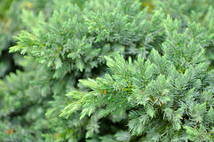 Evergreen Juniper Shrub Stock Images