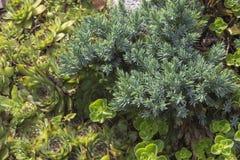Evergreen juniper twig background royalty free stock photos