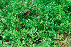 Evergreen juniperus  sabina Stock Photo