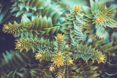Evergreen Royalty Free Stock Photo