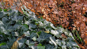 evergreen leaves Stock Images