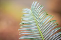 Evergreen leaves of Cycas siamensis, a species of Cycad endemic to Myanmar, Thailand, and Vietnam. Evergreen leaves of Cycas siamensis, a species of Cycad royalty free stock image