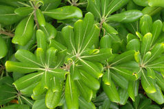 Evergreen leaves Royalty Free Stock Images