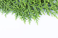 Evergreen leaves with space text below Royalty Free Stock Image