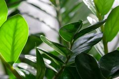 Evergreen leaves of Zamioculcas houseplant. tropical leaves pattern background.indoors plants and flowers concept.  stock images