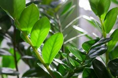 Evergreen leaves of Zamioculcas houseplant. tropical leaves pattern background.indoors plants and flowers concept.  royalty free stock image
