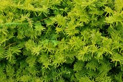 Evergreen luscious foliage Stock Photography