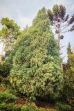 Evergreen Microbiota decussata (Siberian carpet cypress, Russian Stock Photo
