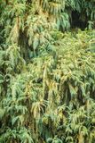 Evergreen Microbiota decussata (Siberian carpet cypress, Russian Stock Images
