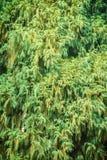 Evergreen Microbiota decussata (Siberian carpet cypress, Russian Stock Image