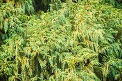Evergreen Microbiota decussata (Siberian carpet cypress, Russian Stock Photos