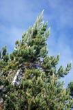Evergreen mot himlen i Antisana den ekologiska reserven Royaltyfria Foton