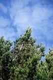 Evergreen mot himlen i Antisana den ekologiska reserven Arkivfoto