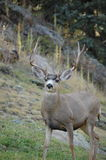Evergreen Muledeer 01 Royalty Free Stock Images