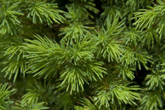 Evergreen Needles Stock Images