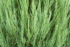 Evergreen needles arborvitae, texture, background.  Stock Photo