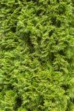 Evergreen needles arborvitae, texture Royalty Free Stock Photos
