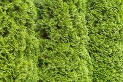 Evergreen needles arborvitae, texture. Background Royalty Free Stock Photos
