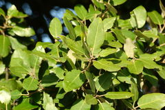 Evergreen oak Royalty Free Stock Photo