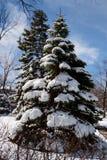 Evergreen och snö Arkivfoton