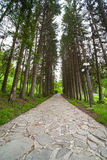 Evergreen park alley. Alley of evergreen trees at Sihastria Monastery in Moldavia Stock Photography