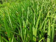 Aloe vera is a succulent plant species of the genus Aloe. stock images