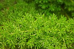 Evergreen perennial plant for decoration, asparagus fern, plume asparagus or foxtail fern Royalty Free Stock Image